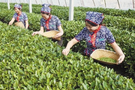 海阳温室大棚内采茶。