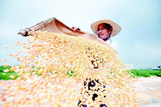 丰收,九月的味道。近日,临沂市郯城县马头镇农民在晾晒玉米。□新华社发