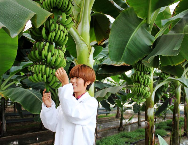 智能温室内种植的香蕉