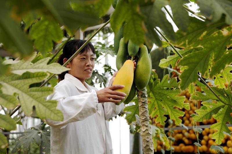 智能温室内种植的木瓜