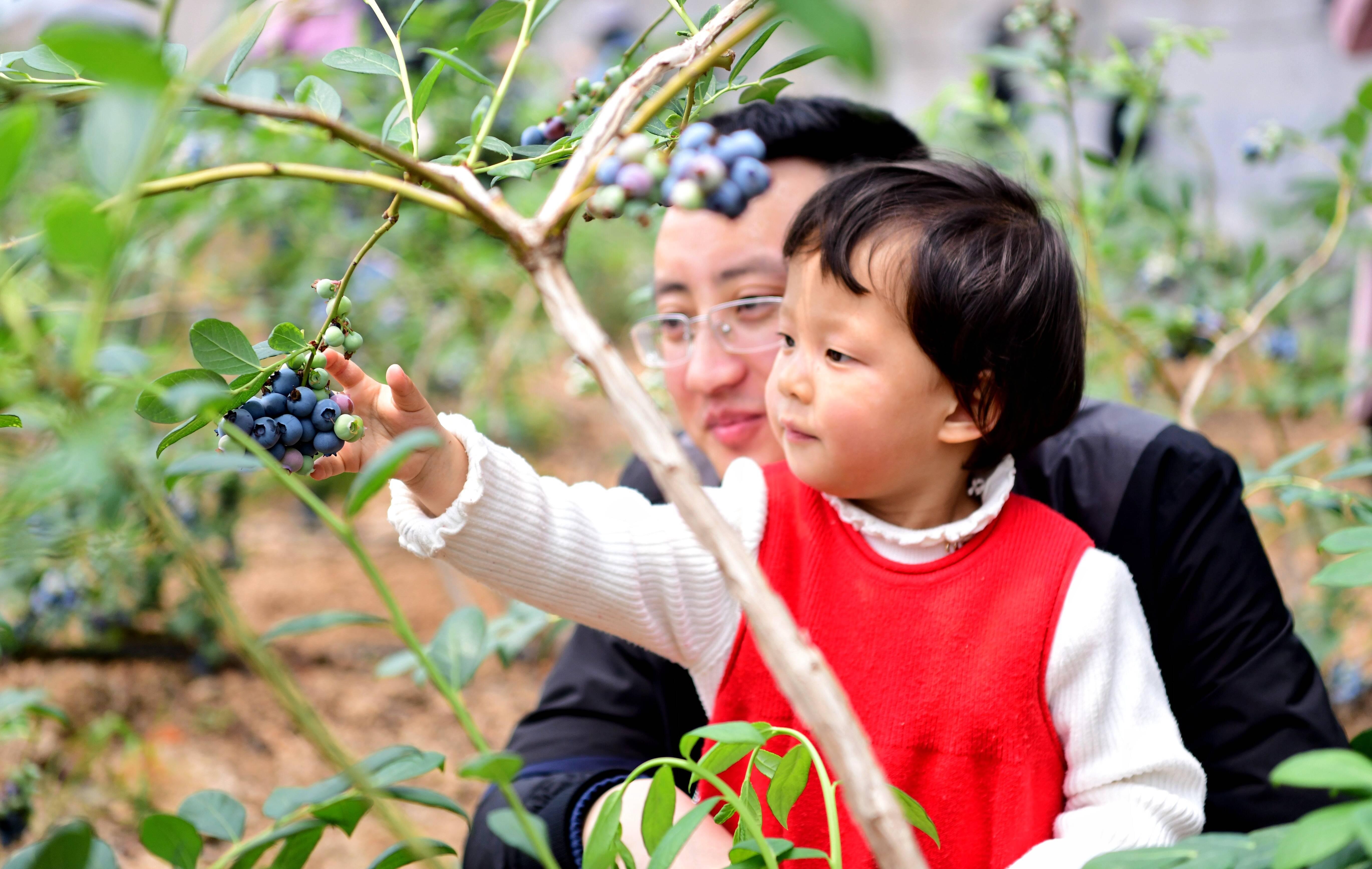 宝山镇蓝莓园中,游客带孩子现场采摘品尝蓝莓。记者 李亮 摄