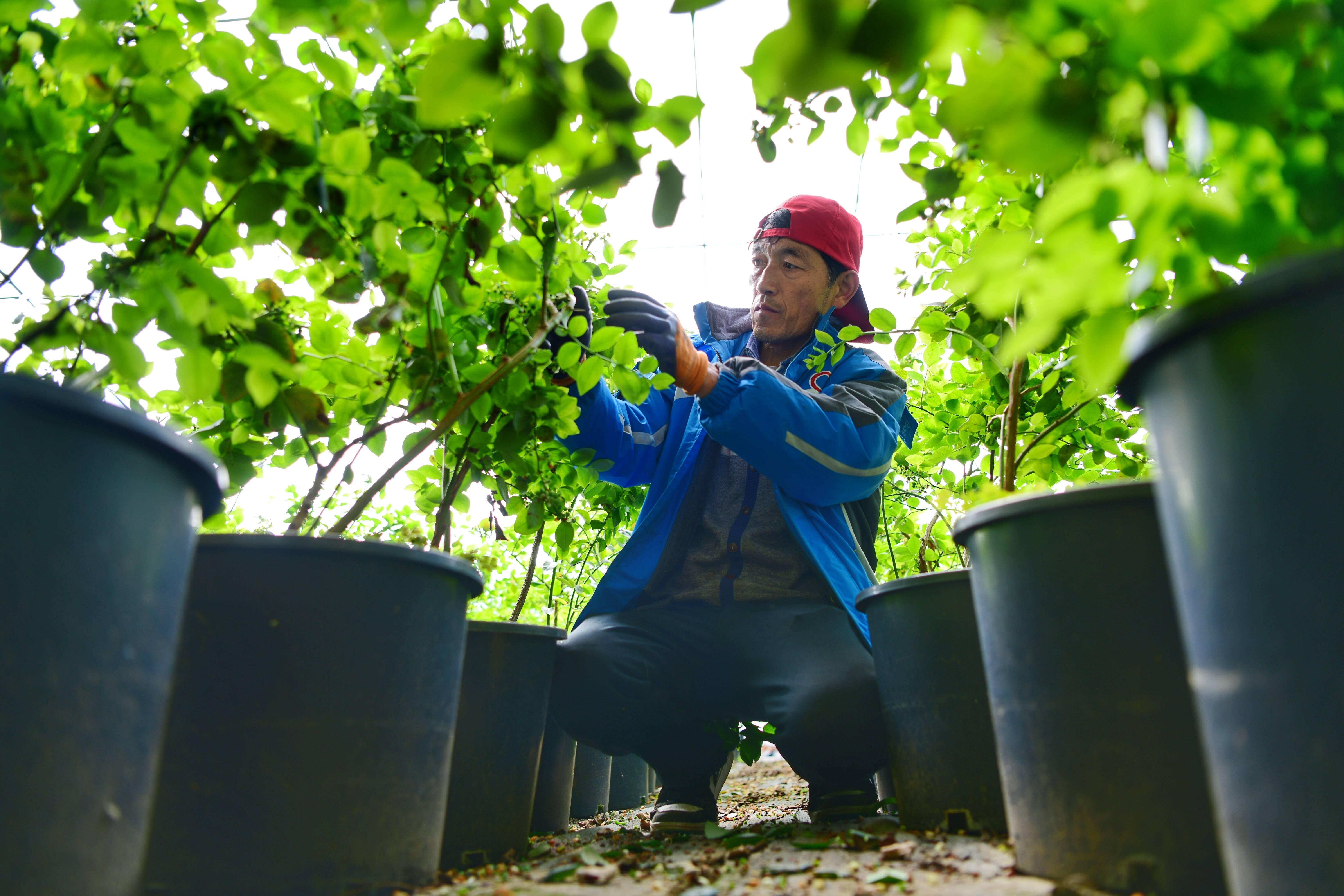 蓝莓被种在花盆基质中。记者 王雪 摄