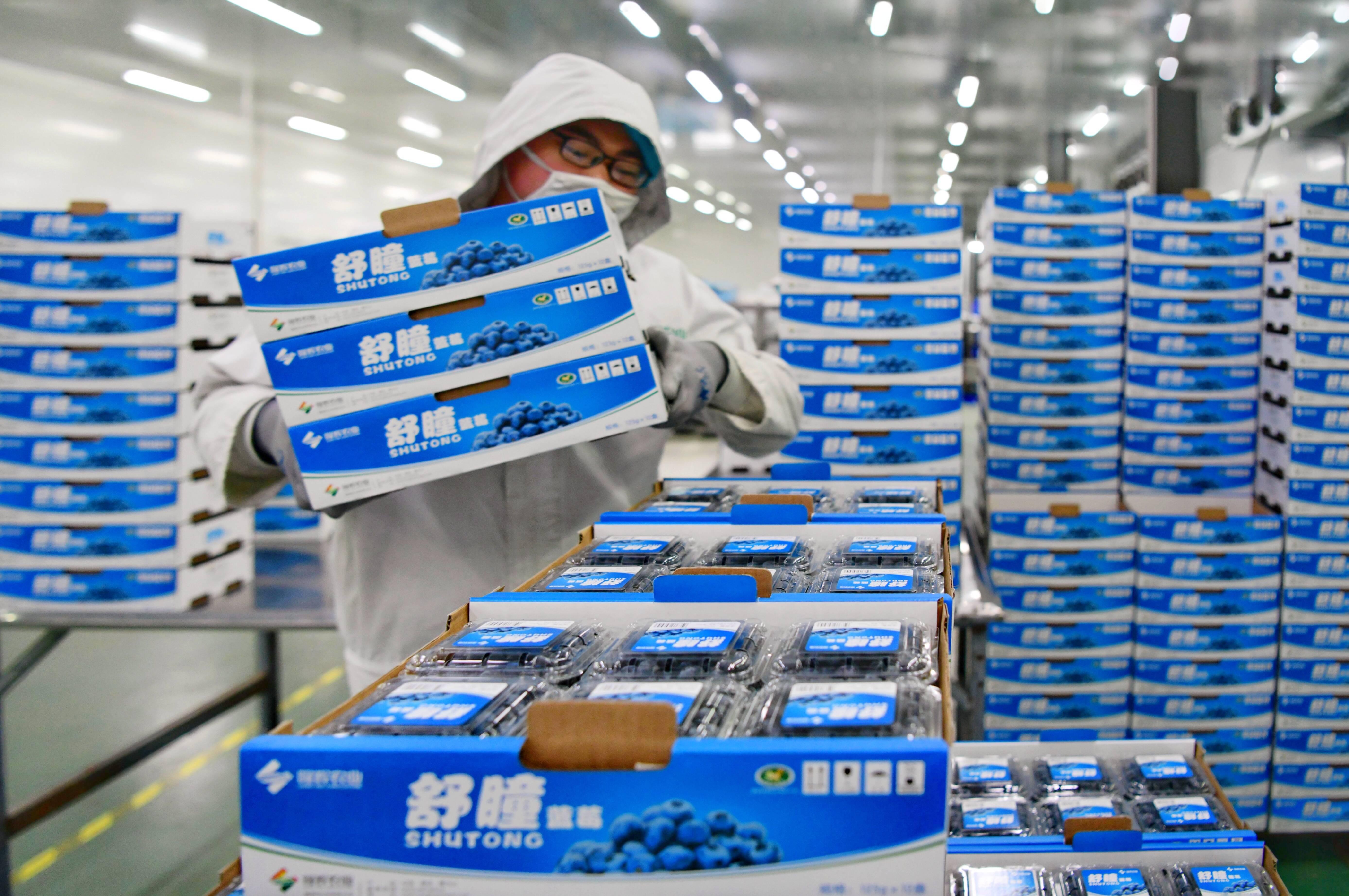 隆辉蓝莓车间中,工作人员整理蓝莓。记者 王雪 摄