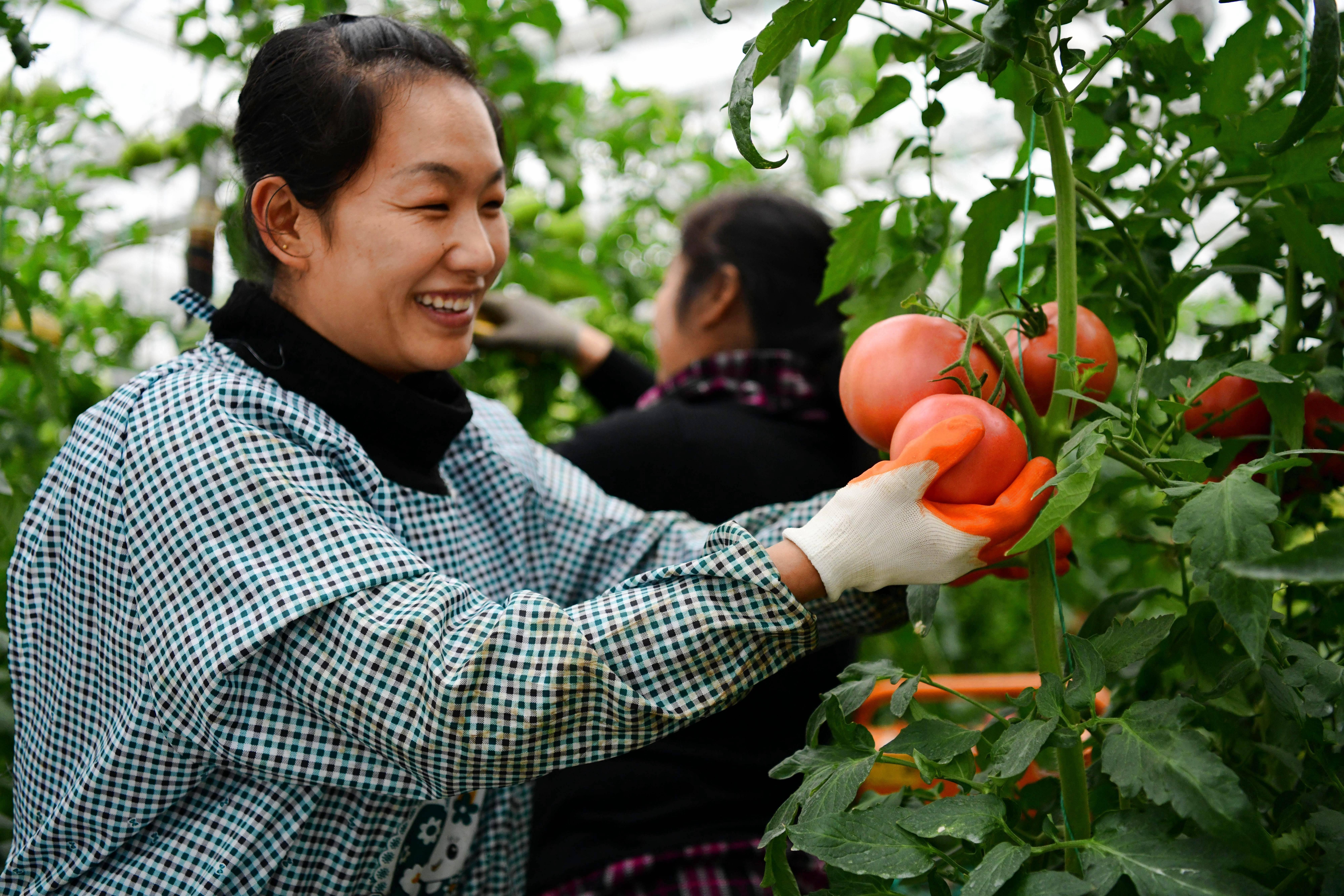 绿色硅谷智能温室内,无土栽培的西红柿喜获丰收。记者 王雪 摄