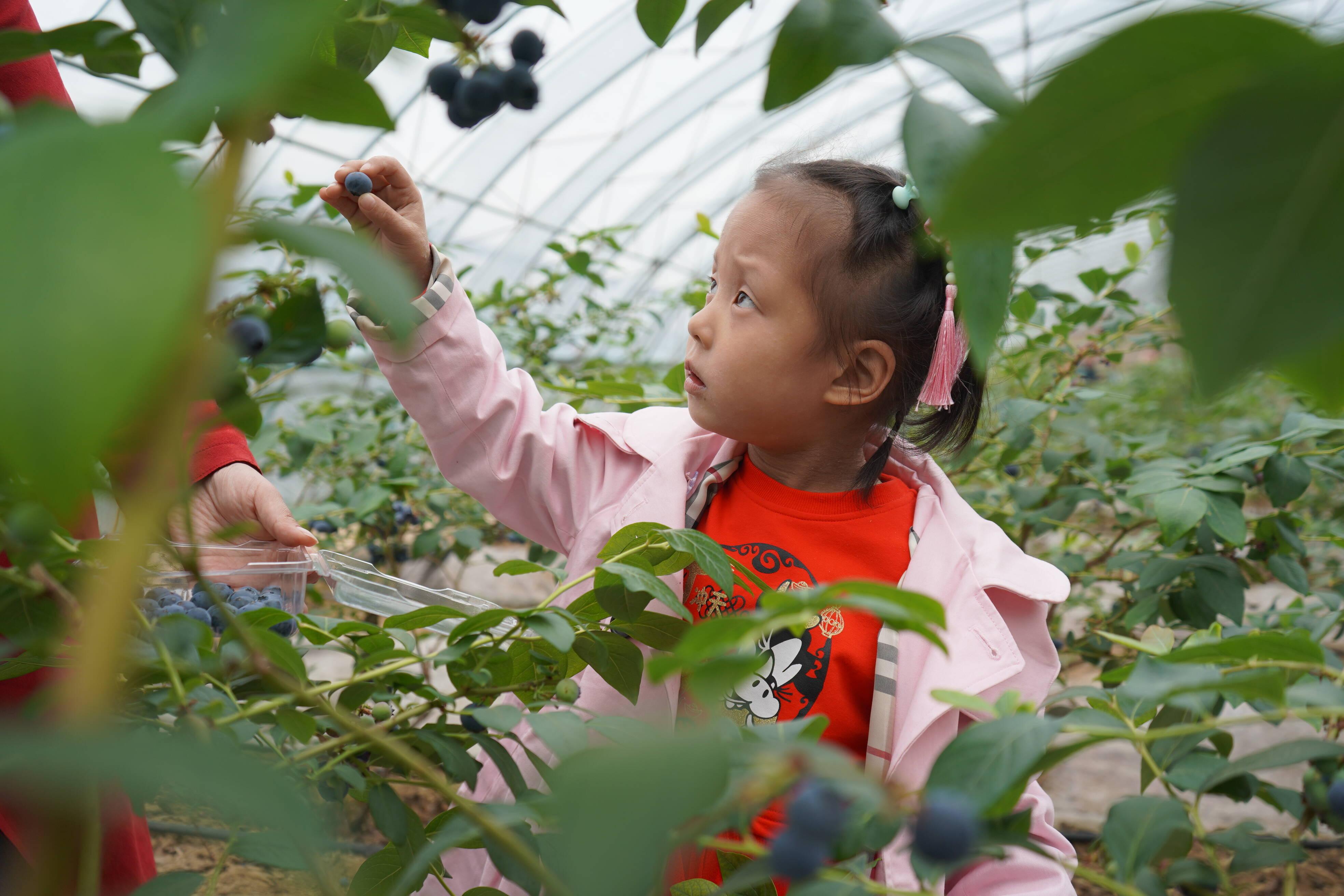 森茂常源蓝莓园内采摘蓝莓的小朋友(记者 李凤仪 摄)