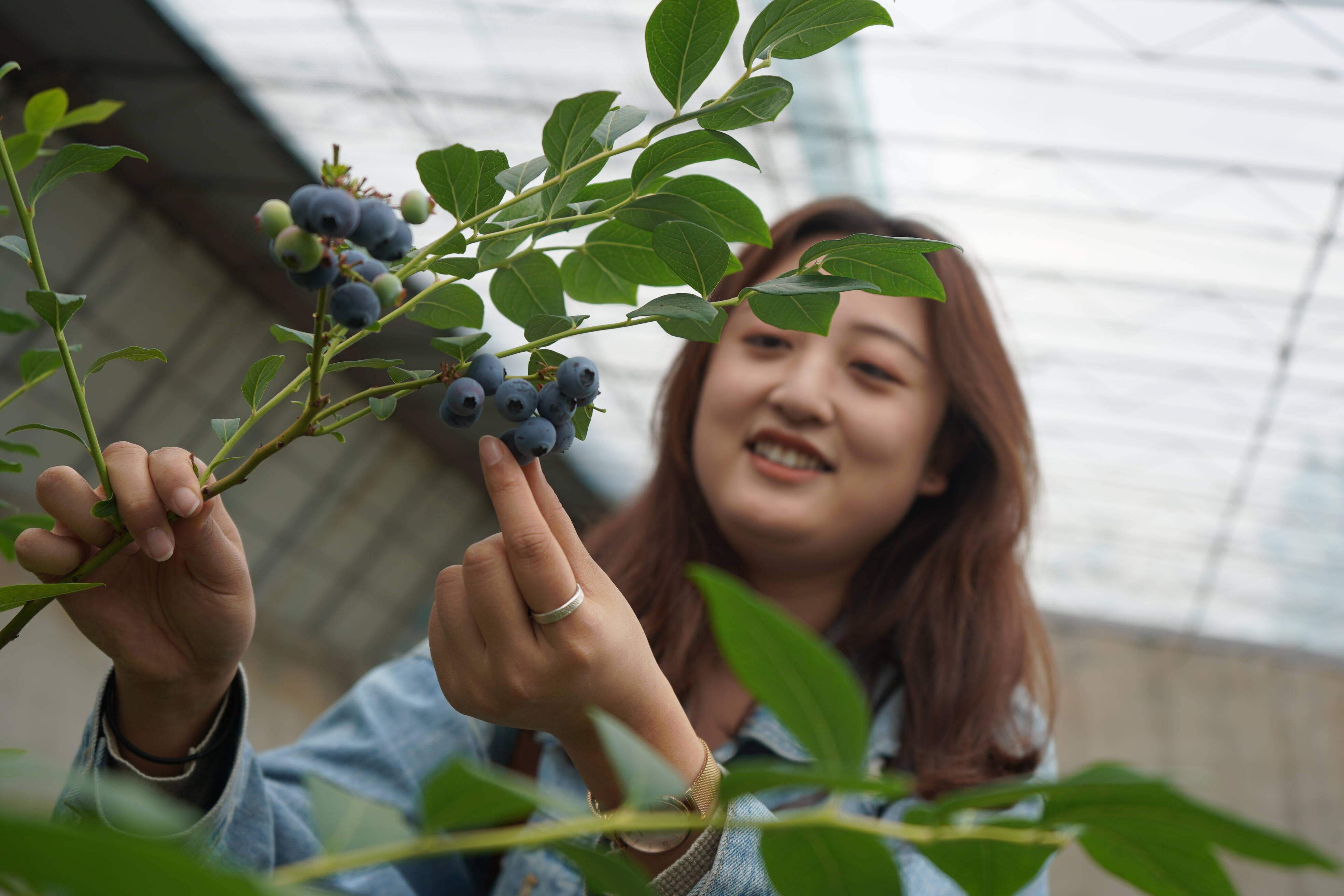 森茂常源蓝莓园内正在采摘蓝莓的游客(记者 李凤仪 摄)