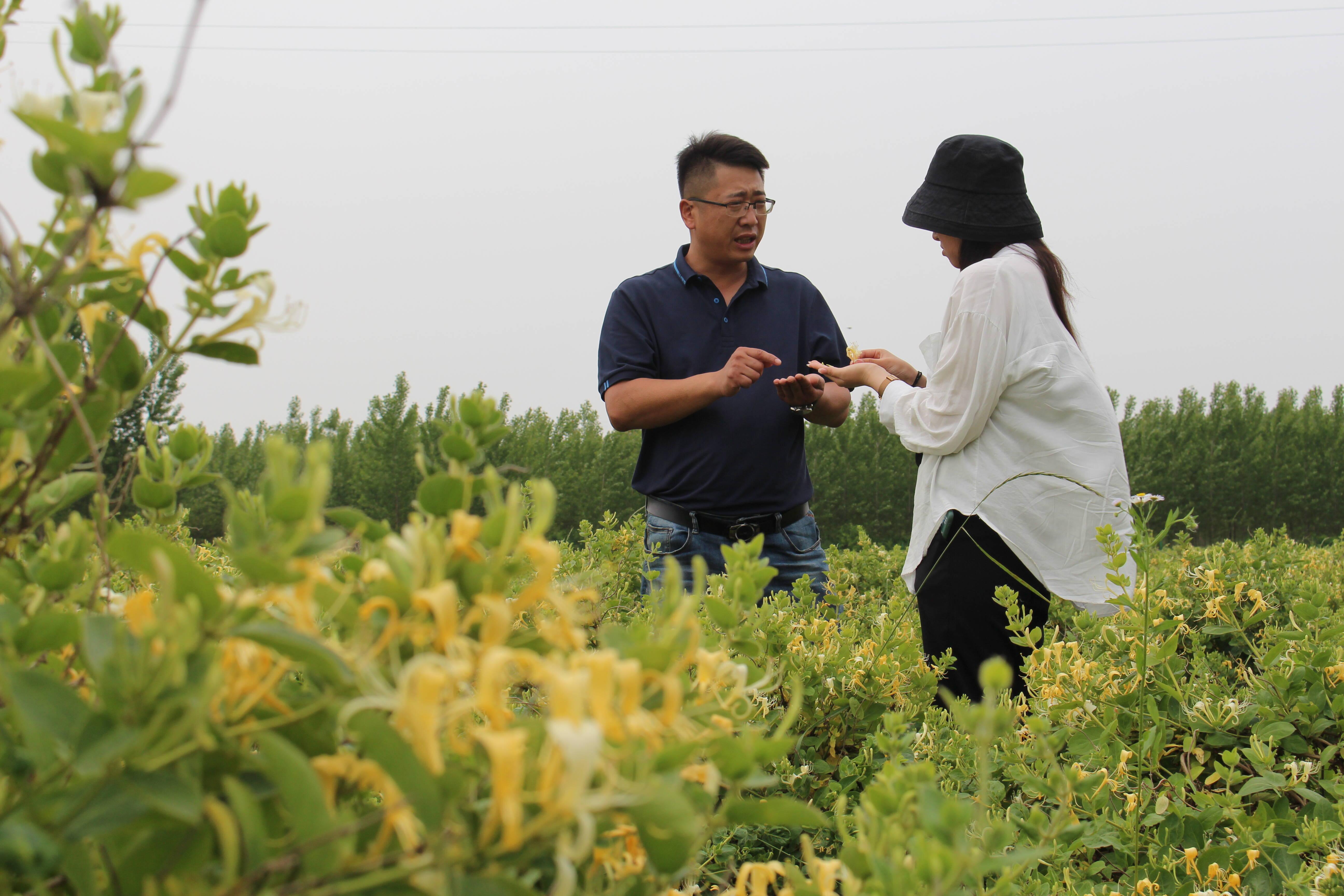 种植园负责人刘建龙察看金银花长势。记者 梁玉鹏 摄