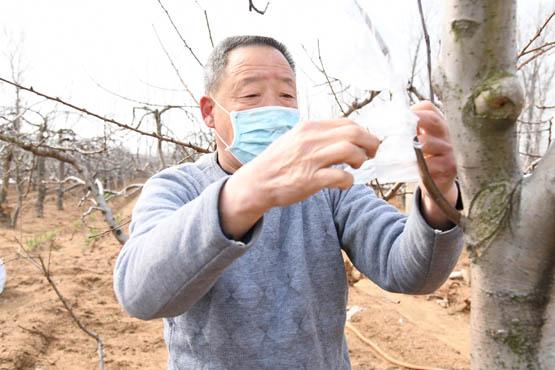 枣庄市山亭区店子镇石竹村果农忙于嫁接桃树新品种