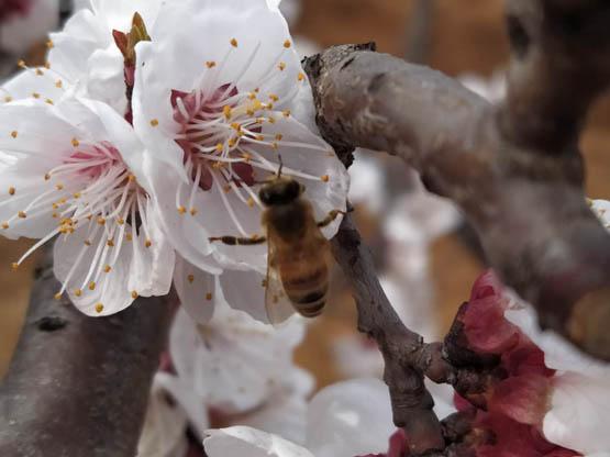 杏花飘香蜜蜂忙