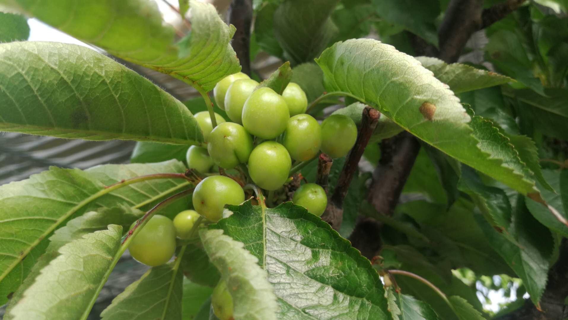 3月20日,在淄川区昆仑镇石牛埠村昆石种养专业合作社的种植园里,樱桃树上结满了樱桃,负责人已在担忧成熟后的销售问题。