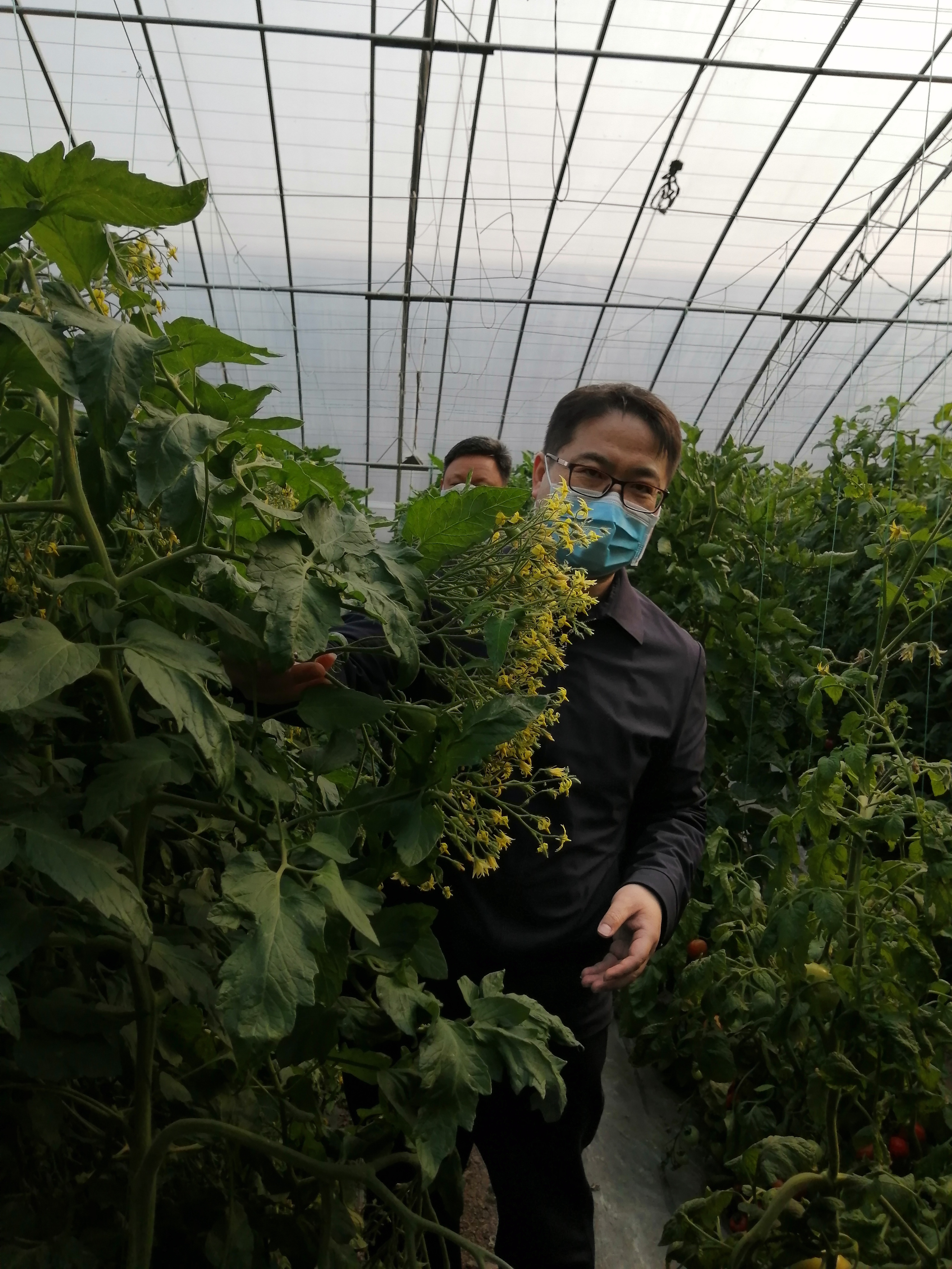 中国农科院试验棚里,一种番茄一开花一大串,中国农科院寿光蔬菜研发中心副主任刘伟认为该品种含有高产基因。 摄影 杨学莹