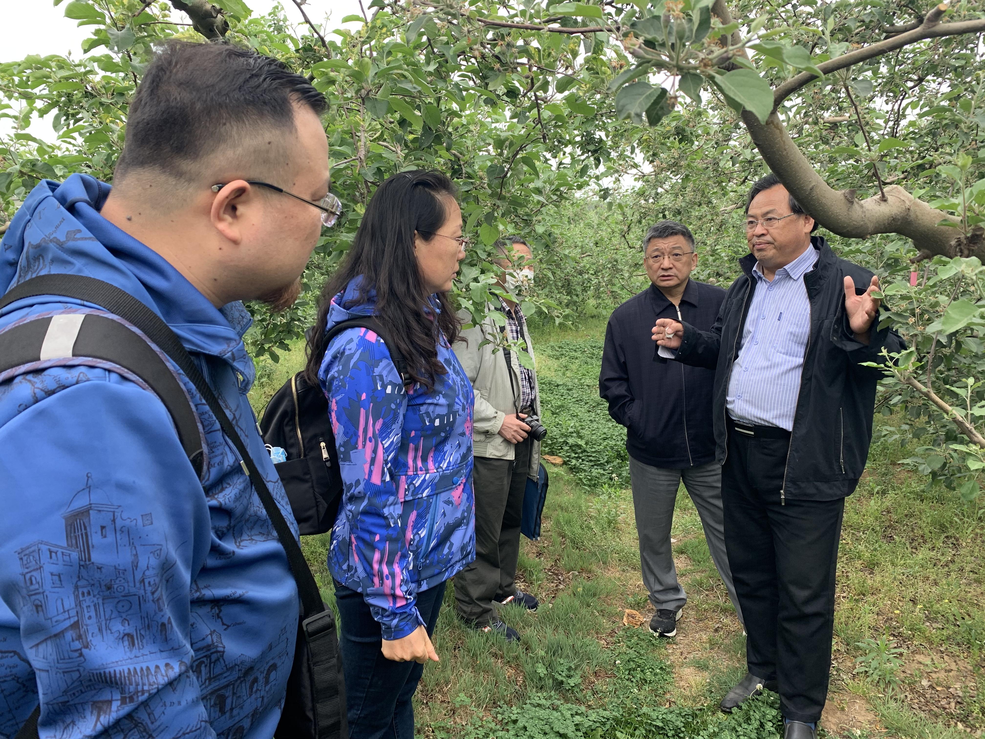 来自全国各地的苹果专家在烟台栖霞研究老龄果园改造方案 摄影 李晶