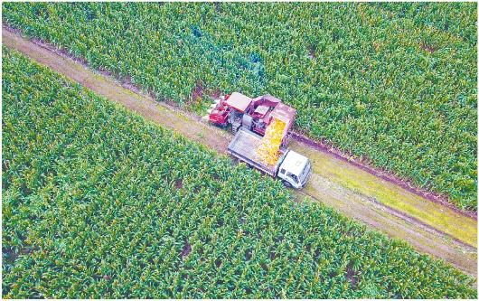 玉米丰收 霍广