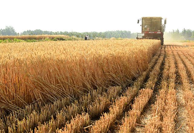 今年5月30日,农机手驾驶收割机在枣庄市山亭区桑村镇葛庄村麦田里抢收小麦。