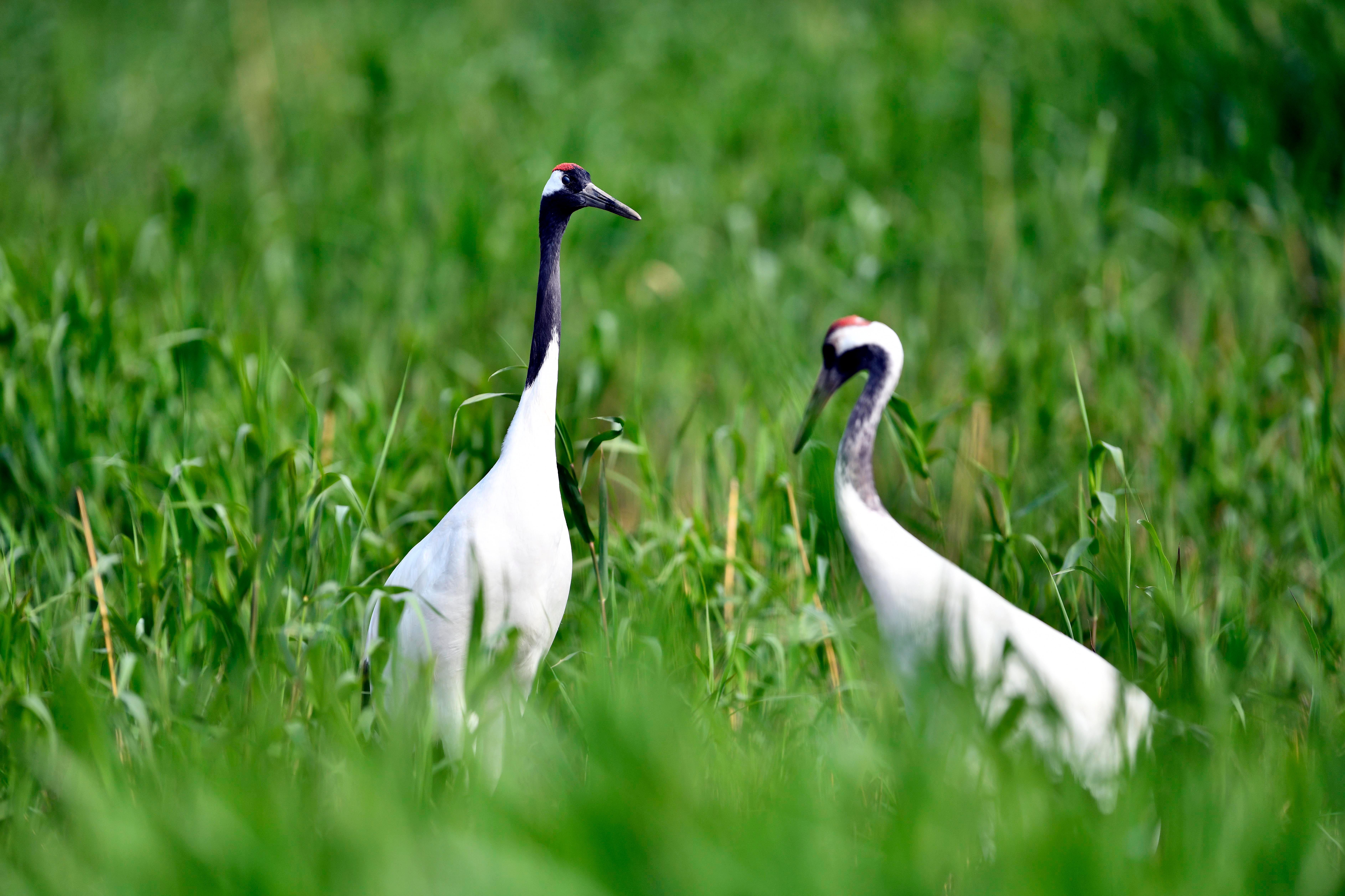 在黄河三角洲国家级自然保护区,两只丹顶鹤在水草间栖息。(新华社记者 郭绪雷 摄)