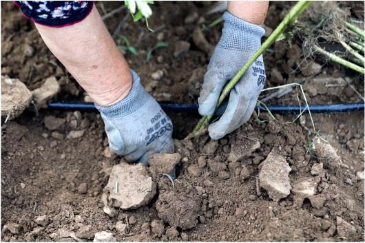 淄博市淄川区太河镇下端士村,肖玉爱戴着手套在种植万寿菊。200多亩万寿菊,她和村民就是这样一棵棵手工栽植的。