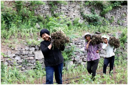 肖玉爱带领村民,背扛成捆的菊花苗木上山,苗木用车运到山脚下后只能用人力往山上扛。
