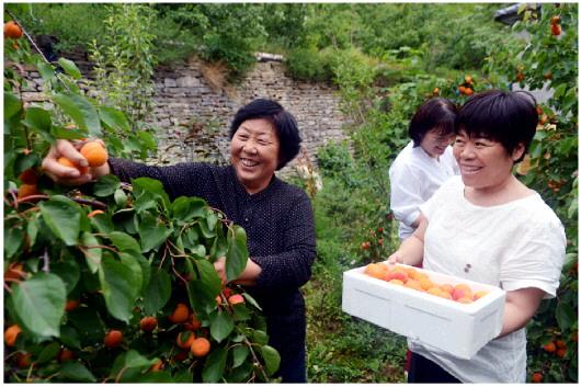 肖玉爱邀请下端士村民宿的住客到果园采摘红杏。吃到亲手摘的新鲜杏果,住客十分高兴。