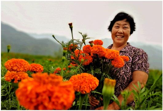 肖玉爱怀抱开放成熟的万寿菊,满脸开心的微笑。